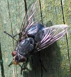 Настоящие мухи