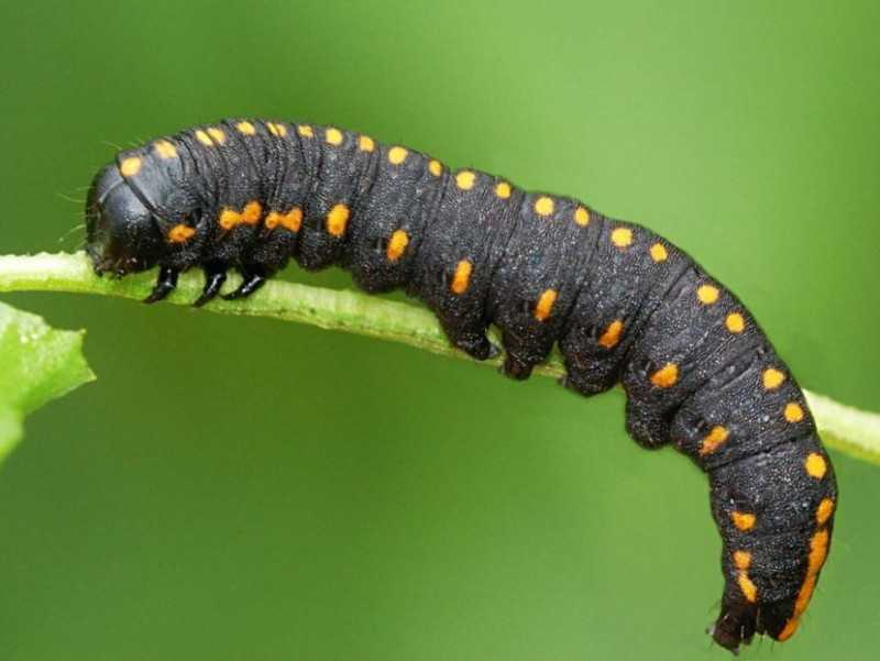 Строение и фото гусениц разновидности