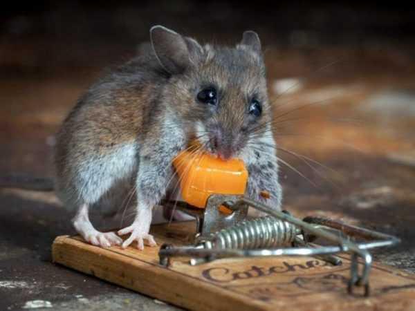 Как сделать ультразвуковой отпугиватель крыс и мышей своими руками