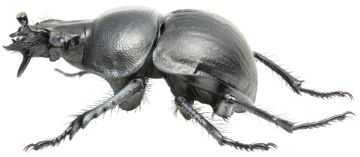 Самый большой жук Дровосек-титан, Геркулес или Большезуб