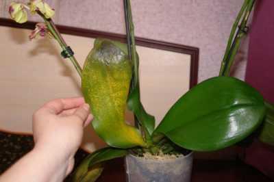 Что делать, если на орхидее появились белые мохнатые жучки. Как можно от них избавиться