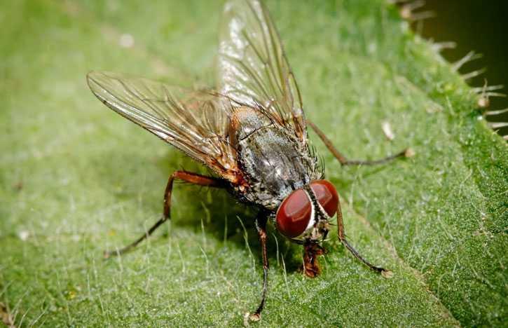Интересные факты о мухах. Сколько ног у мухи