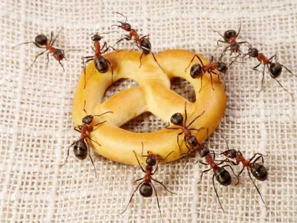 Избавляемся от черных муравьев в частных домах
