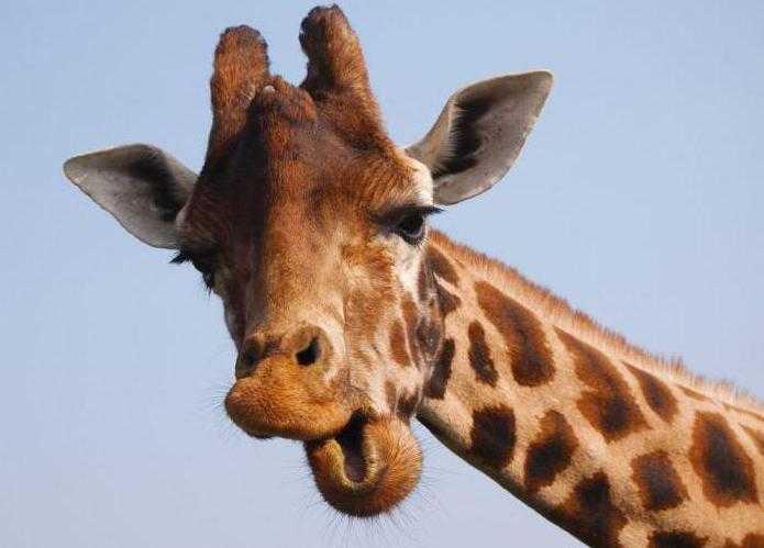Сколько у жирафа шейных позвонков Это и другие факты о жирафе