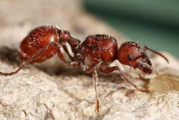 Эти удивительные муравьи
