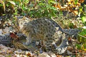 Питание кошки Цусимы