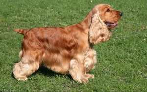 Описание собаки породы кокер спаниель