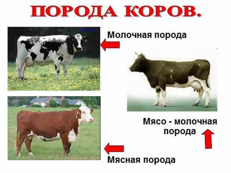 Породы коров различных направлений в России