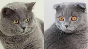 Различия между британскими кошками и шотландскими