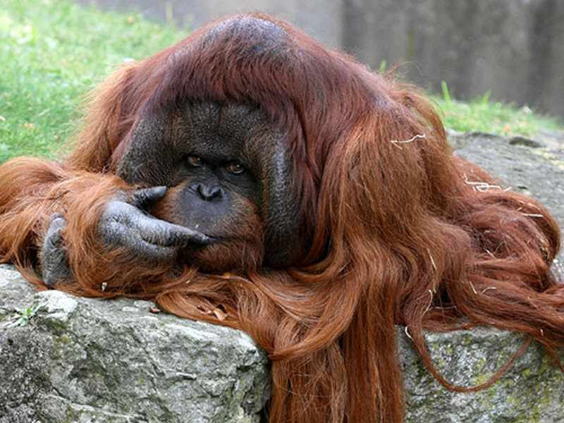 Калимантанский орангутан