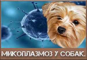 Что такое микоплазмоз у животных