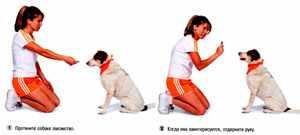 Как научить собаку команде голос
