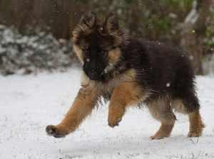 Щенок немецкой овчарки на снегу