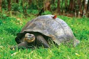 Слоновая черепаха гуляет по траве и птичка