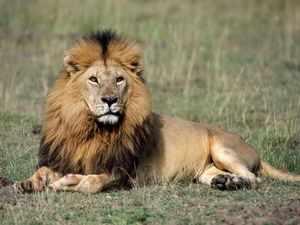 Внешний вид льва