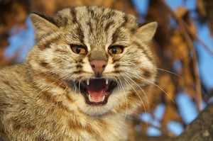 Амурский лесной кот - характеристика