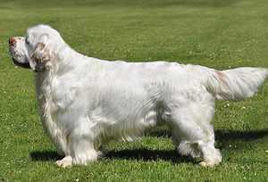 Кламбер спаниель - красивая собачка