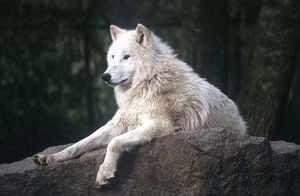 Интересное о полярных волках
