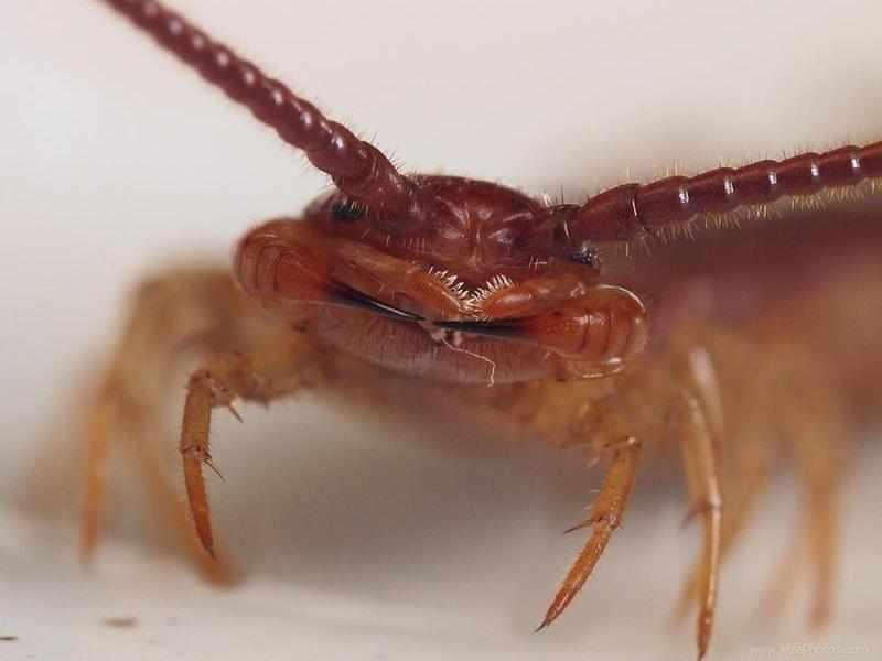 Скалапендрия: фото насекомого чем опасна