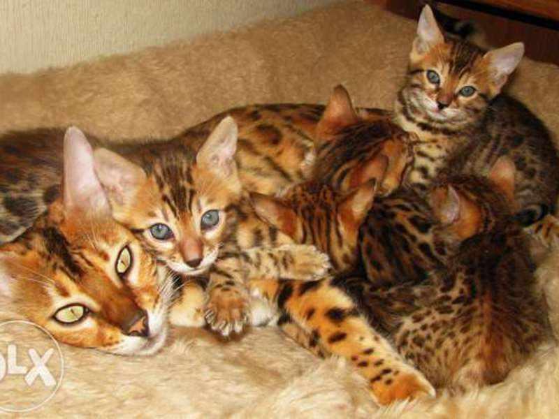 Бенгальские кошка и котятки