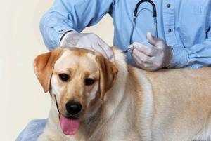 Прививка от клещей - эффективная помощь собаке, которая много гуляет