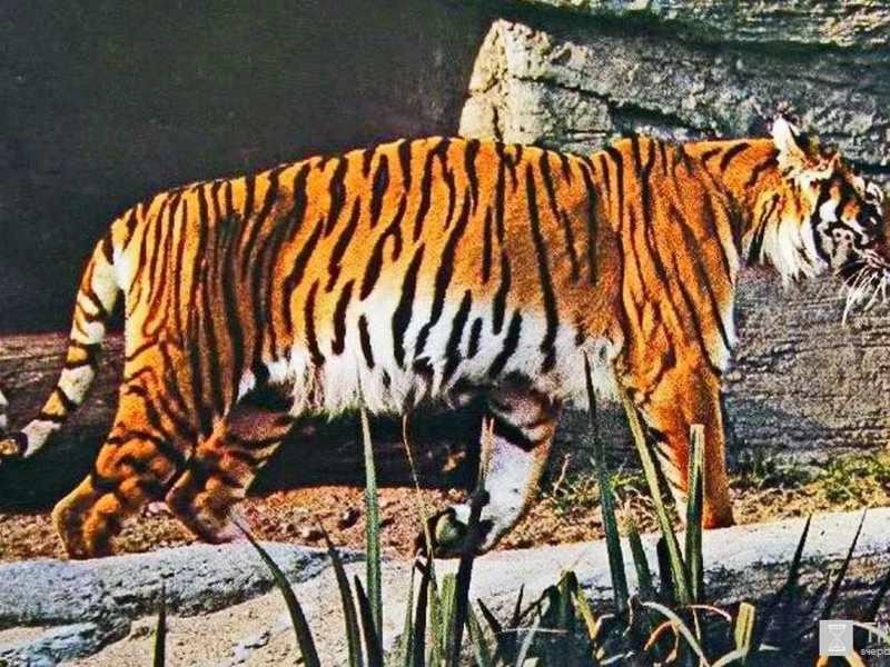 Закавказский тигр на пироде