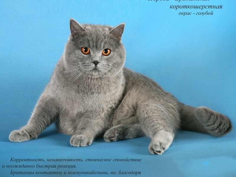 Популярные породы кошек