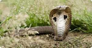 Змея Индийская очковая кобра