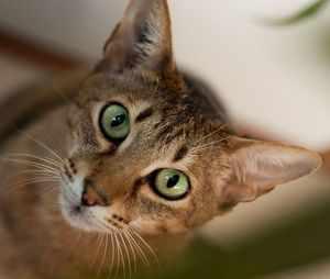 Бенгальская кошка - мордочка
