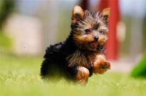 Терьер-щенок бежит по траве