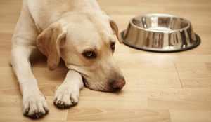 Собака вялая и не есть