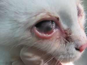 Причины появления конъюнктивита у кошек