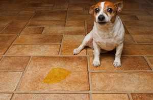 Что делать, если собака писает дома