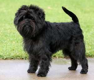 Черная собака аффенпинчер