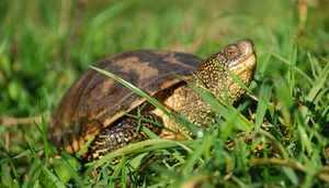 Чем питаются речные черепахи