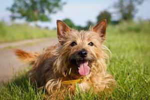 Описание породы собаки австралийский терьер