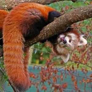 Где обитают рыжие панды