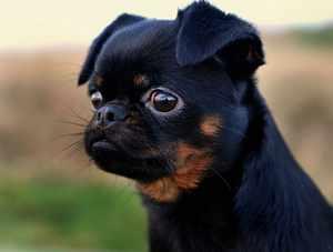 Идеальный питомец Собака породы грифон