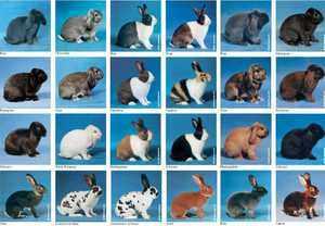 Характеристика породы кроликов