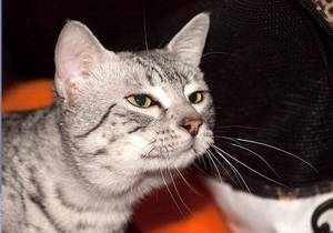 Порода кошки Египетская мау