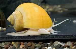 Ампулярии одни из самых крупных видов аквариумных улиток