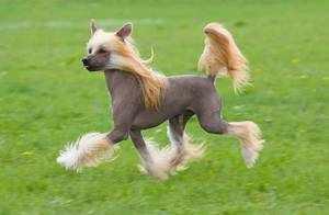 Внешность китайской хохлатой собаки