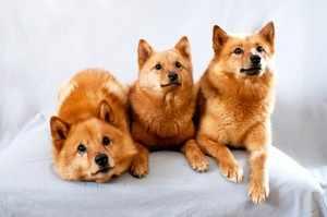 Как выглядит собака корейская лайка