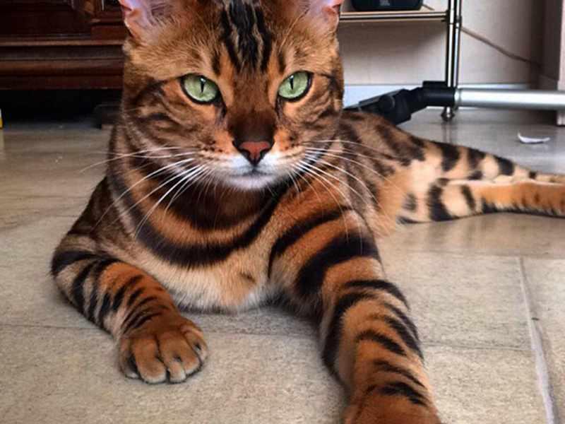 Роскошный бенгальский кот