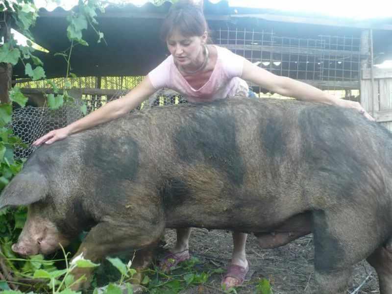 Пятнистая свинья