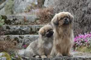 Тибетский спаниель пара