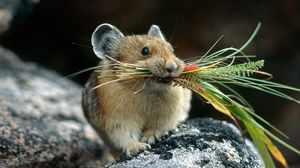 Опасность полевой мыши