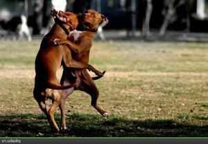 Нрав собак бойцов