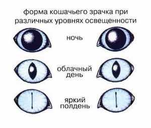 Особенности зрения у кошки