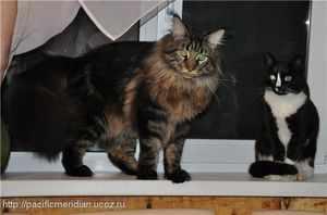 Мейн-кун и обычная кошка
